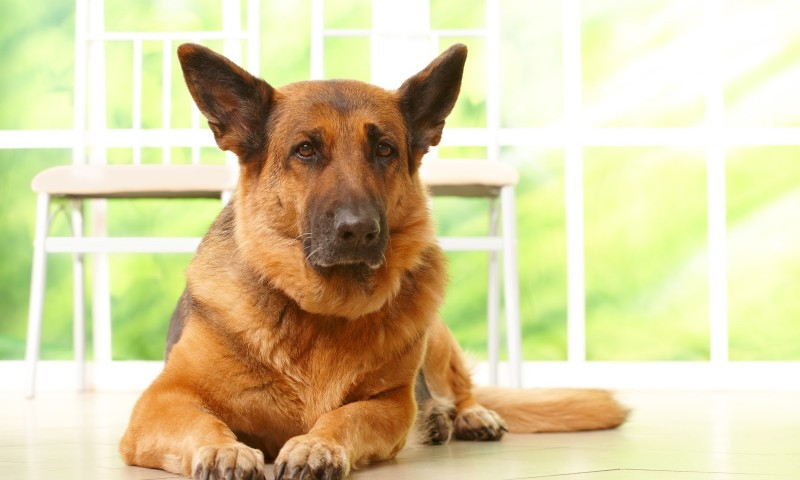 Guard Dog or Home Alarm