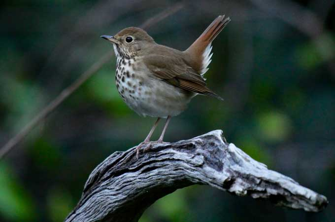 image for Hermit Thrush with its tail sticking up